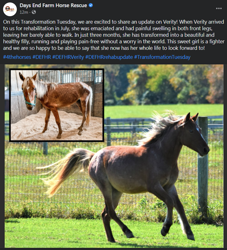 Size: 729x803 | Tagged: safe, verity, earth pony, horse, community related, days end farm horse rescue, female, filly, happy, irl, irl horse, meadow, photo, solo, twitter